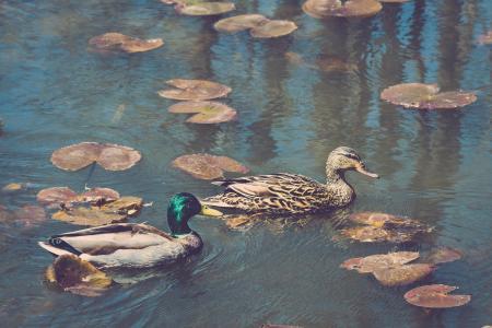 世界鸟类,鸭子