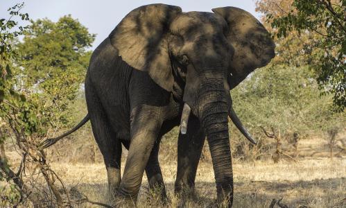 大象,动物,树干