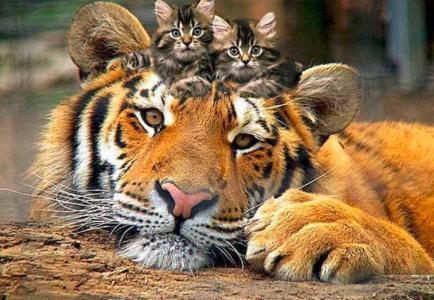 家庭的猫,老虎,小猫,田园诗