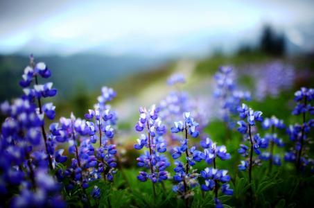 性质,鲜花,绿党,羽扇豆,叶子,植物