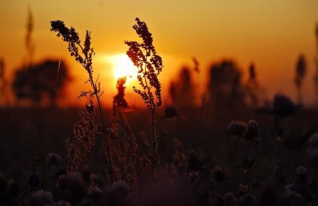 日落,草,鲜花,网站
