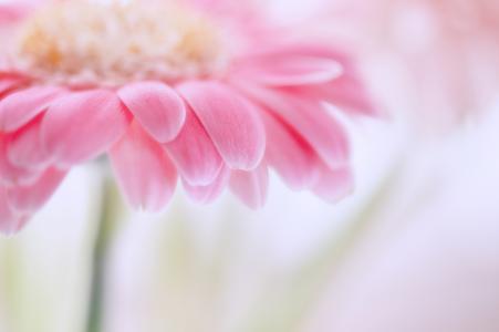 非洲菊,粉红色,花瓣,花,模糊,轻轻地