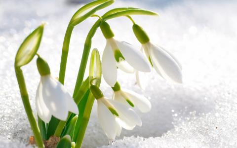 照片,春天,雪,鲜花,雪花莲
