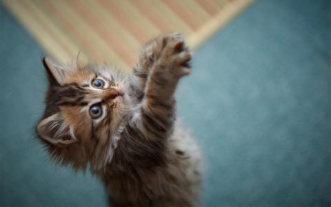 小猫,游戏,爪子,蓬松,毛皮