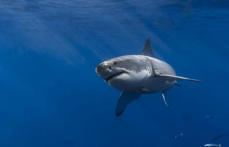 鲨鱼,白鲨,捕食者,照片,在水之下