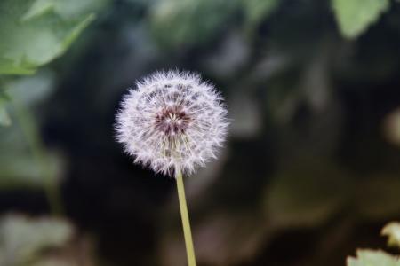 蒲公英,模糊,大自然,鲜花