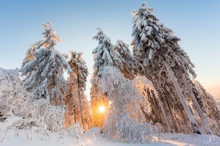性质,冬天,雪,树,冷杉,太阳