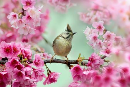 樱花,鸟,分支