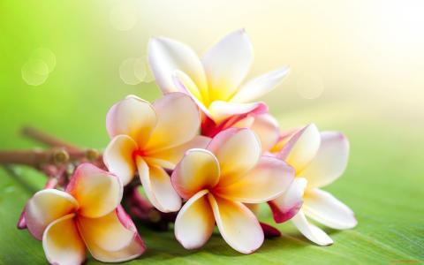 花,鸡蛋花