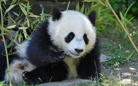 熊猫,可爱的小熊,熊,竹,森林,野生动物,照顾熊猫