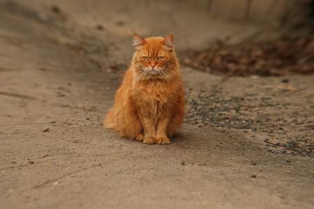 猫,猫,红色,秋天,看,悲伤,悲伤