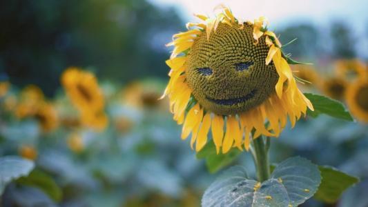 照片,积极,创意,向日葵,场,性质