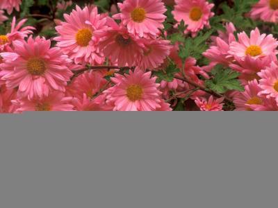 非洲菊,粉红色,特写镜头