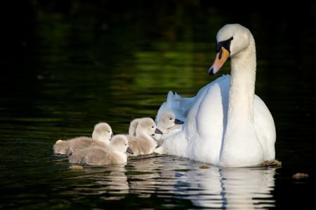 天鹅,天鹅,池塘,家庭,鸟类