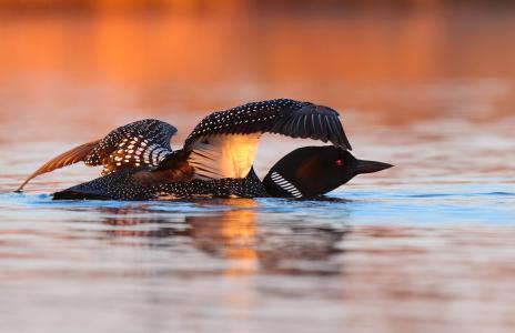 鸟,水,伟大的北部的懒人,动物