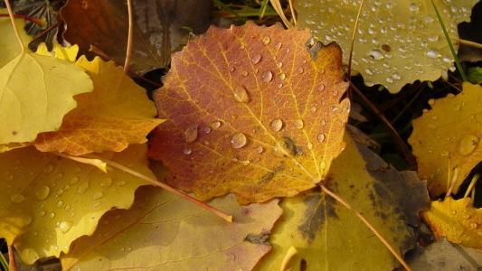 落叶,露水滴,静脉