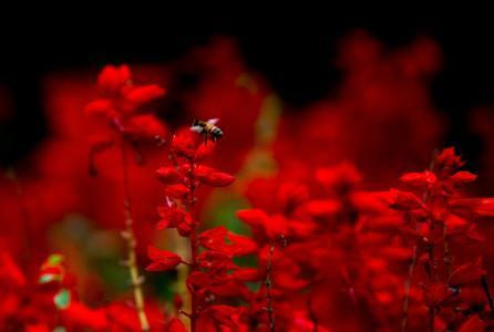 蜜蜂,昆虫,红色,宏