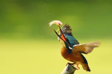 鸟,普通翠鸟,翠鸟,翠鸟,枝,抓,滴,由鲍里斯
