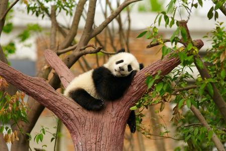 熊猫,小熊,动物园,照片,积极,树,梦想