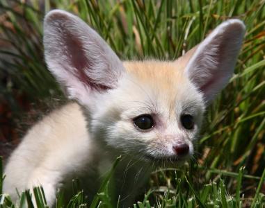 沙狐狸,白色,鼻子,眼睛,狐狸,耳朵