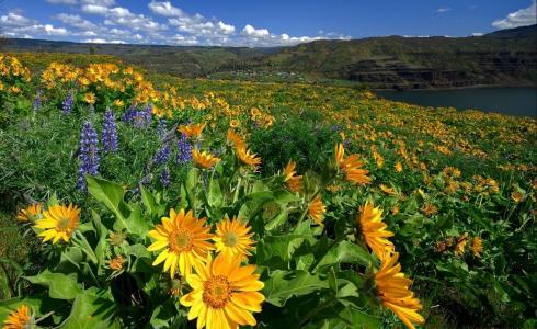 草地,向日葵,羽扇豆