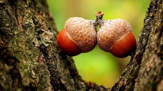 橡子,树,秋,宏,性质