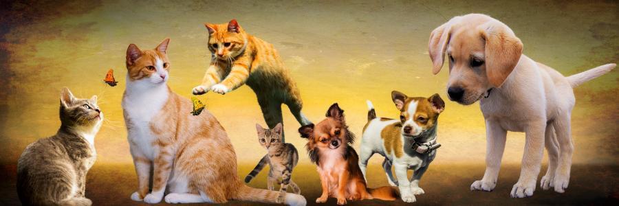 动物,狗,猫,玩
