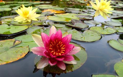 百合,性质,宏观照片主题,河,鲜花,美丽
