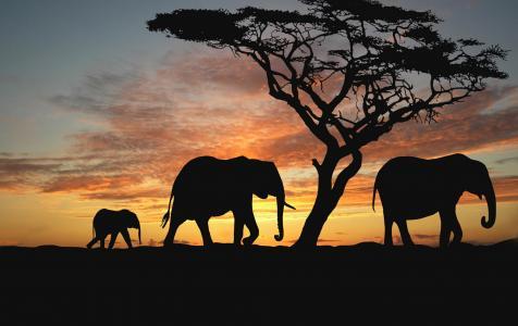 树,晚上,日落,动物,大象,热带稀树草原,非洲,自然动物壁纸,非洲