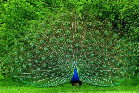 美丽,明亮,尾巴,大,鸟,孔雀