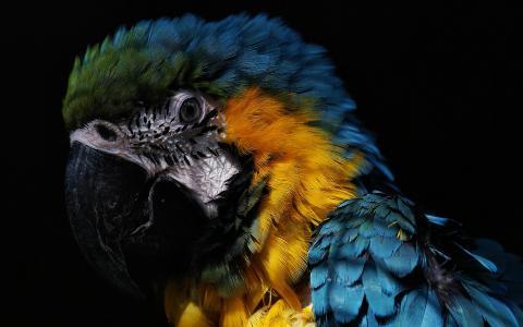美丽的金刚鹦鹉,鹦鹉