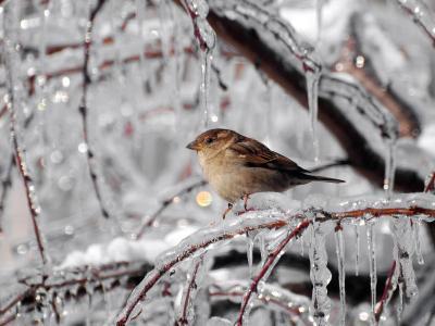 冰柱,树枝,冰,麻雀,冬天,霜冻