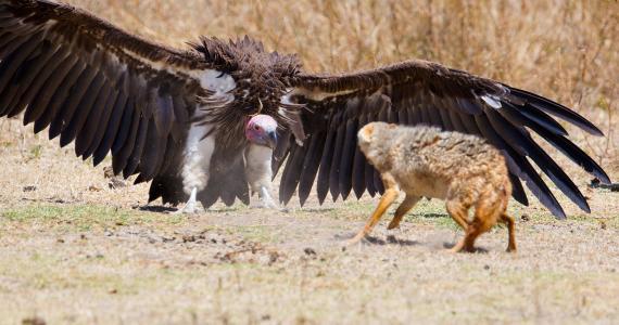 鸟,秃鹫,翅膀,狐狸,战斗