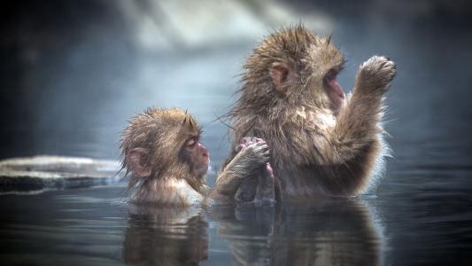日本,猴子,水,情侣,酷,乐趣,美女