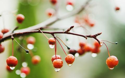 湿,浆果,雨,分支机构,宏,樱桃