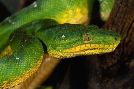 眼睛,蛇,绿色,鳞片