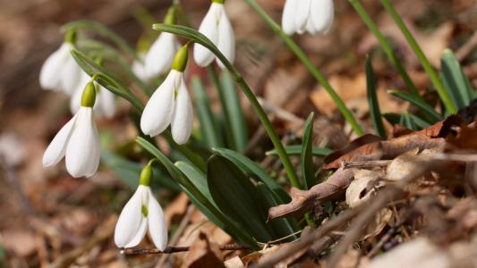 雪花莲,krym,白色,美丽,叶子,春天,绿色