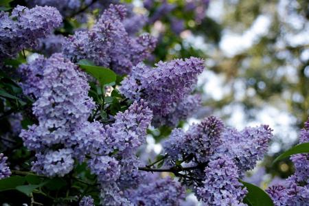 丁香,花序,花瓣,春天