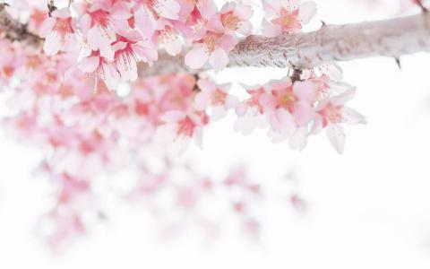 樱花开的轰轰烈烈