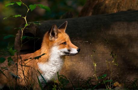 狐狸,动物,性质