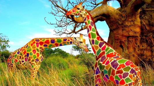 长颈鹿,彩色