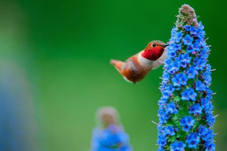 性质,宏观照片,主题,花,鸟,蜂鸟,美丽