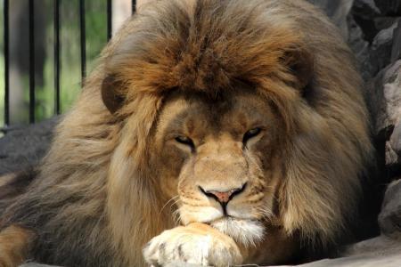 动物园,狮子,查看,严重,捕食者,猫,石头,篱笆