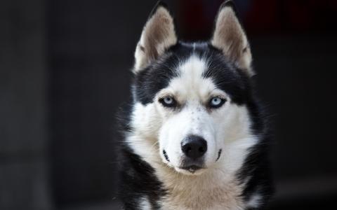 狗,哈士奇