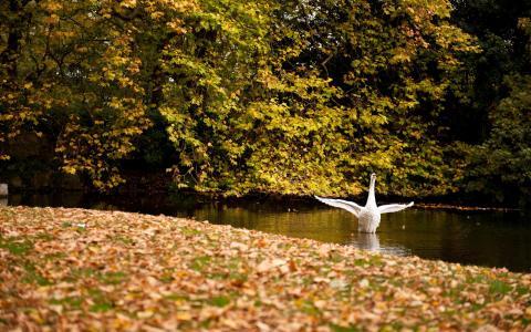 翅膀,白,湖,天鹅,秋千