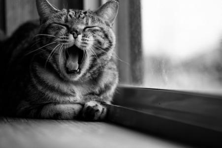 猫,窗口,黑色和白色,美女