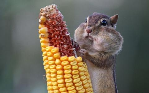 仓鼠,玉米