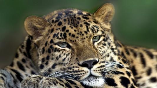 放松豹,灰色的眼睛,光滑的头发