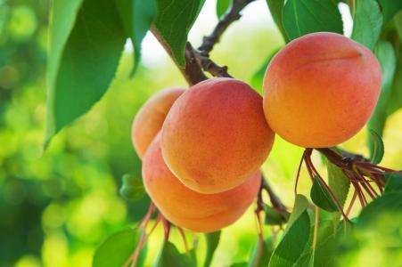桃子,水果,杏子