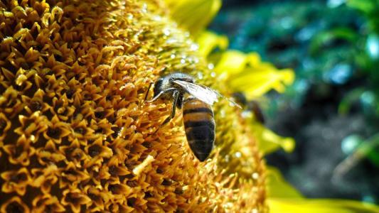 蜜蜂,向日葵,花瓣